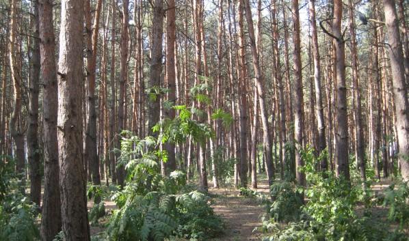 Тот самый «Северный лес»