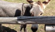 Заражение произошло из-за несанкционированного перемещения животных.