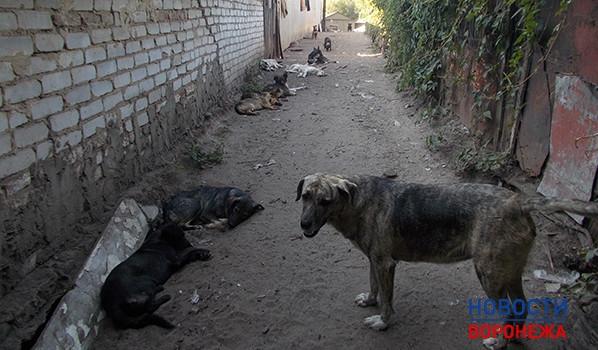 ВВоронеже могут ввести чипирование домашних собак
