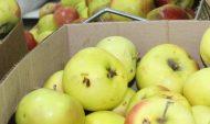 Яблоки воровали коробками.