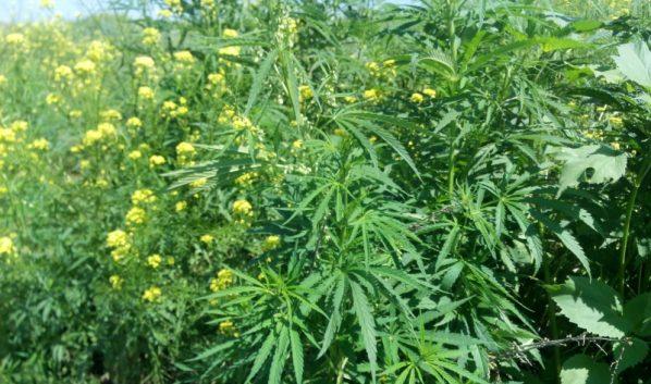 Воронежец сорвал содержащие наркотики растения.