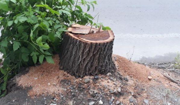 Деревья спилили незаконно.
