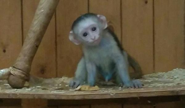 ВВоронежском зоопарке узеленых мартышек родился третий детеныш