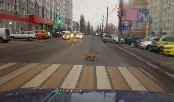 ВВоронеже сфотографировали лису, перебегающую дорогу попешеходному переходу