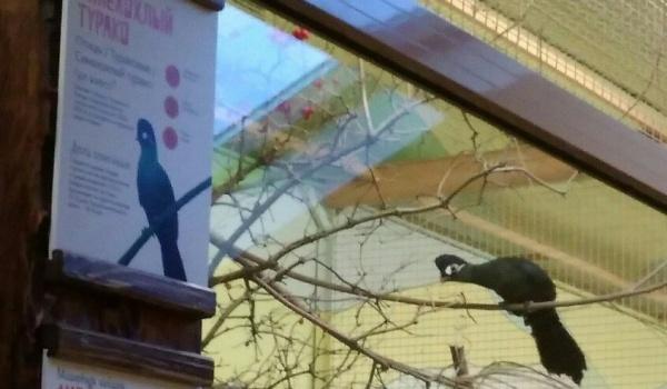 Воронежский зоопарк был дополнен новоиспеченной птицей— синехохлым турако