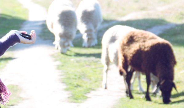 У мужчины пропали овцы.