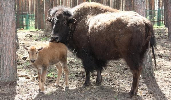 Новорожденный бизон с матерью.