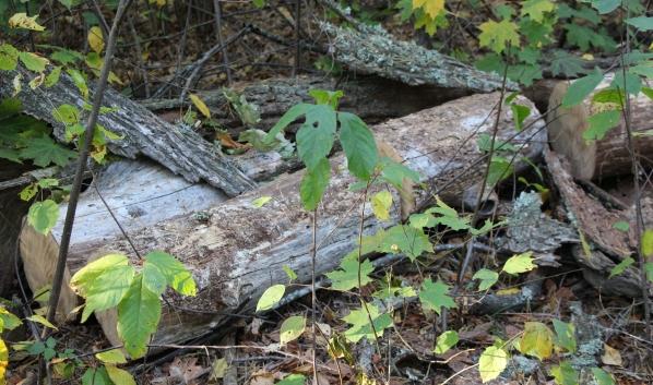 Мужчина спилил деревья и бросил их в лесу.