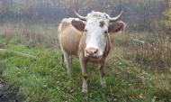 Компании разводят крупный рогатый скот.