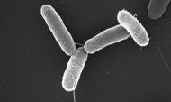 Salmonella typhimurium.