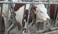 Область поставила рекорд по производству молока.