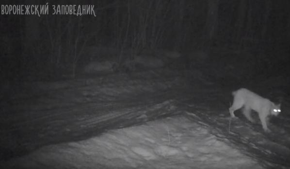 В заповеднике впервые сняли рысь.
