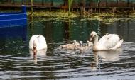 Лебеди живут на озере.