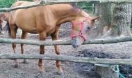 В мясе говядины обнаружили ДНК лошади.