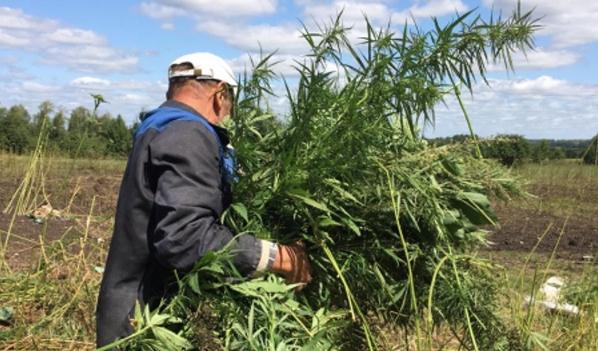Плантации конопли в воронежской области как определить сорт марихуаны