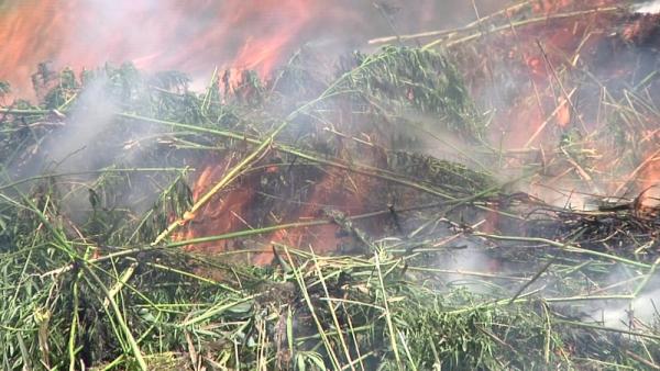 Дикорастущую коноплю сожгли.