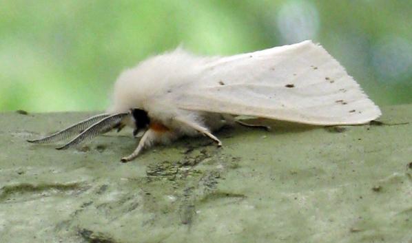 Американская белая бабочка.