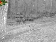 Рысь вновь попала на кадры фотоловушек.