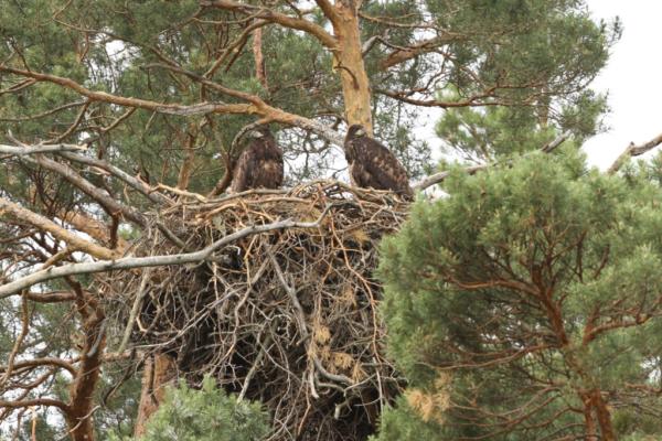 Птенцы орлана-белохвоста в гнезде.