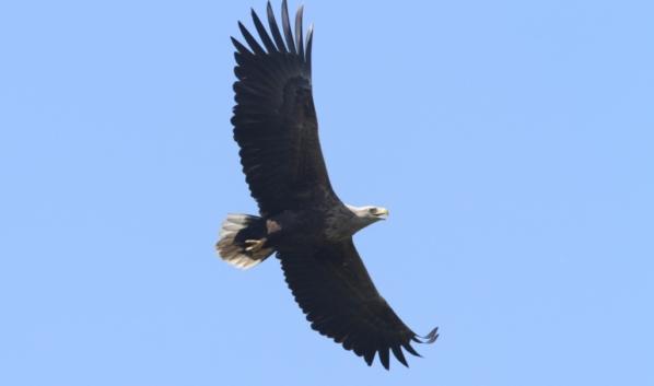 Взрослый орлан-белохвост.