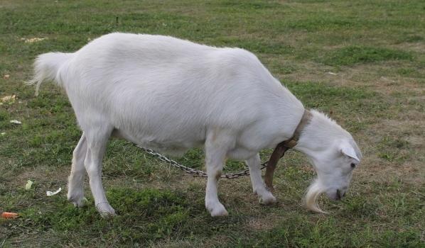 Мужчина украл козу.