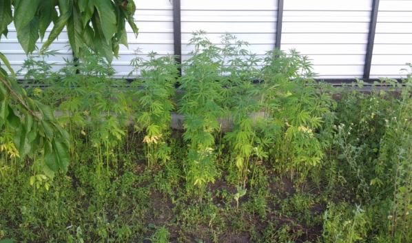 Воронежец нашел наркосодержащие растения в своем селе.