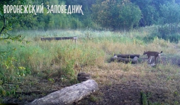 Самец рыси гуляет по заповеднику.
