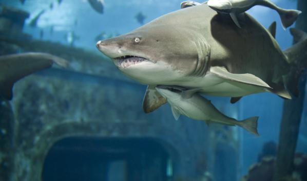Акулы в океанариуме.