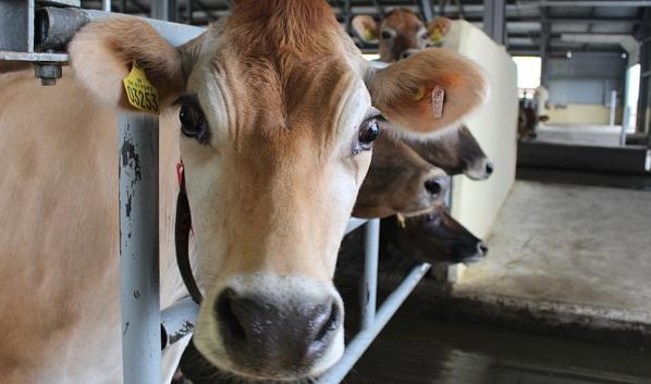 В Воронежской области получен 1 млн тонн молока.