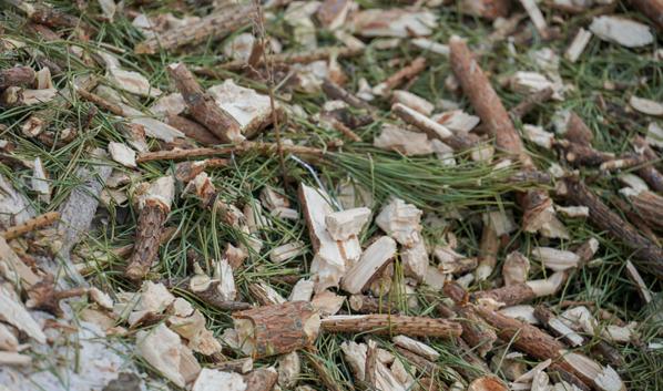 Ёлки и сосны перерабатывают в щепу.