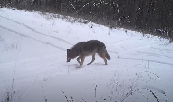 Волк в заповеднике.